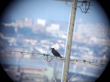 Crow_on_antena.jpg